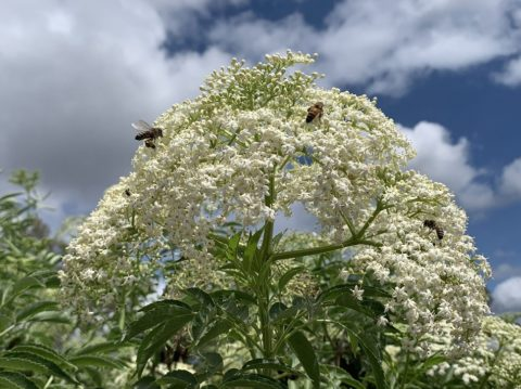 The Black Elderberry, European Elderberry – Sambucus Nigra