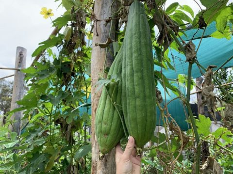 Grow It! Eat It! Use It! The Sponge Gourd – Luffa aegyptiaca, Egyptian cucumber, Vietnamese luffa